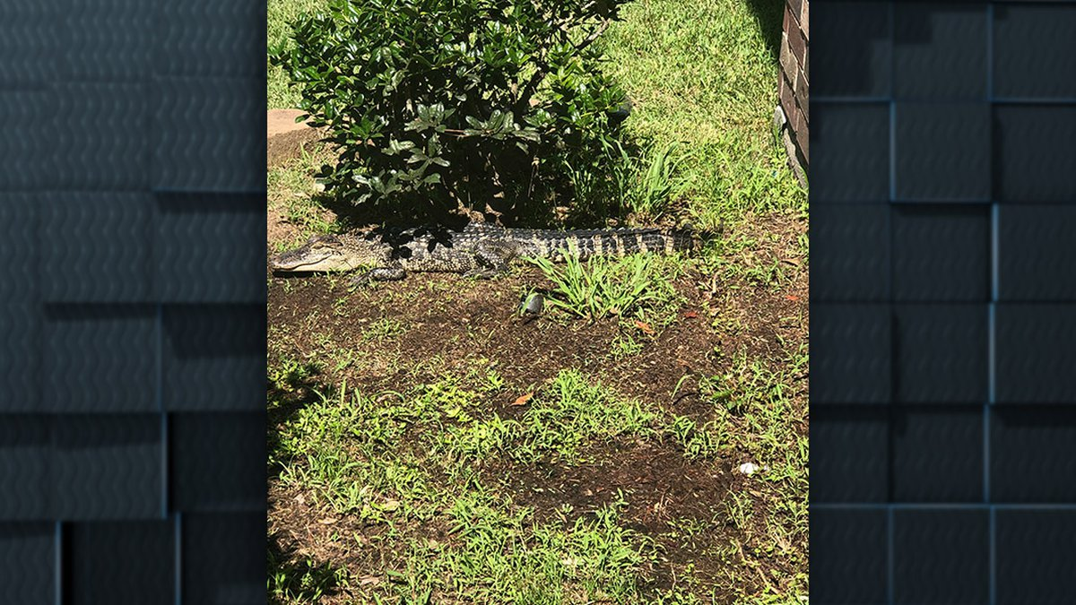 Gator runs when Lake Charles homeowner finds him on front porch
