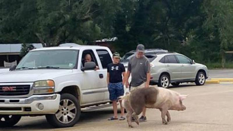 A pig in a parking lot is something you don't see too often.